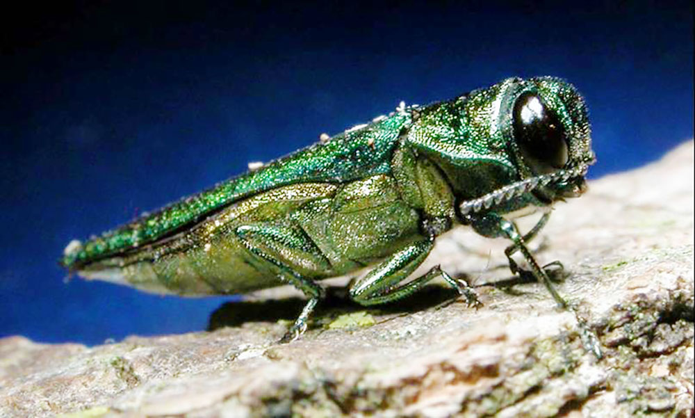 emerald ash borer invasive pennsylvania bug