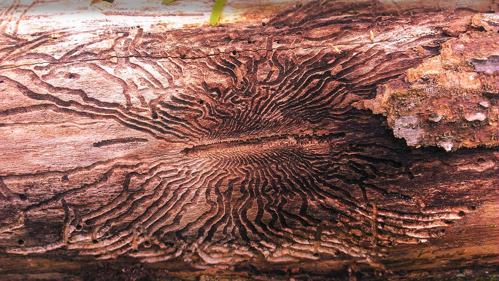 emerald ash borer destruction of pennsylvania tree