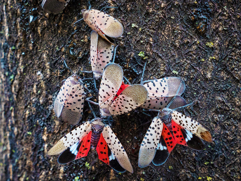 spotted lanternfly on trees in pa